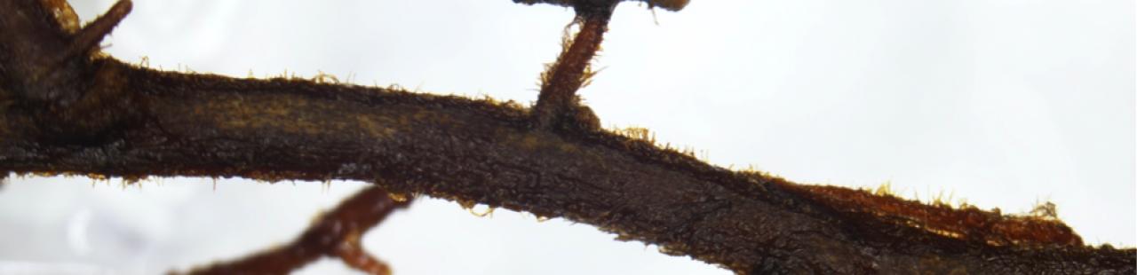 Underground Allies: Western White Pine & Ectomycorrhizal Fungi featured image.