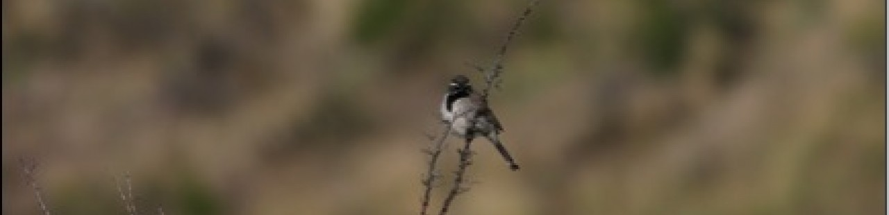 A Rare Sparrow Documented on the Ranch featured image.