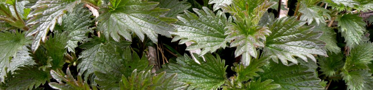 Stinging nettles tickle your tongue featured image.