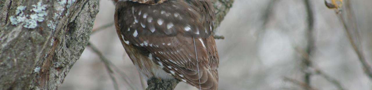 Northern Saw-Whet Owl  featured image.