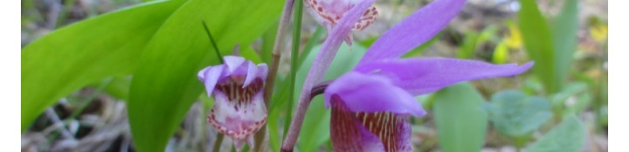 Calypso bulbosa featured image.