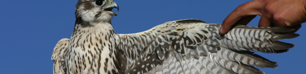 Raptor Migration Numbers Increase featured image.