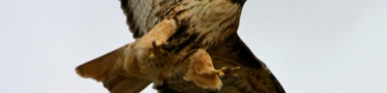 Spring 2013 Raptor Migration Update featured image.