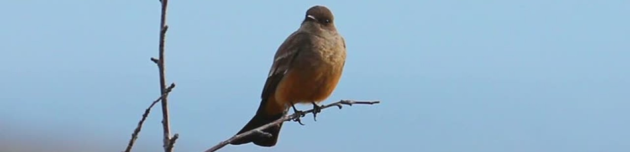 Overwintering Say's Phoebe featured image.