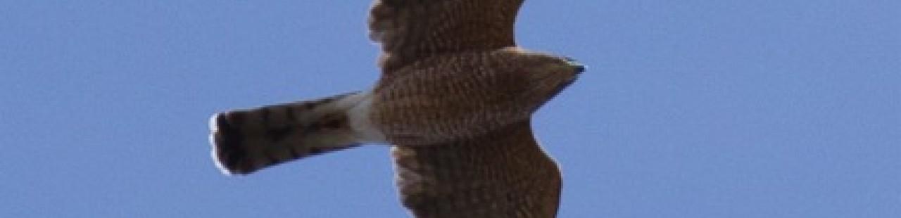 Spring Raptor Migration Update- Week 5 featured image.
