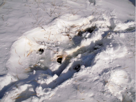 This photo shows an elk track in a bed site.  The animal's body heat softened the snow beneath, and when it stood up, its warm hoof pushed deeply into the snow.  The track then froze solid.