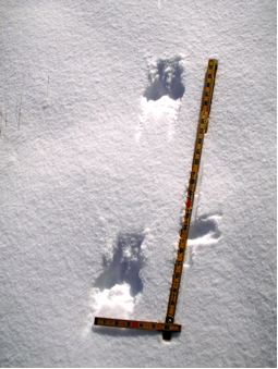 The photo above shows the leaps of a long-tailed weasel.