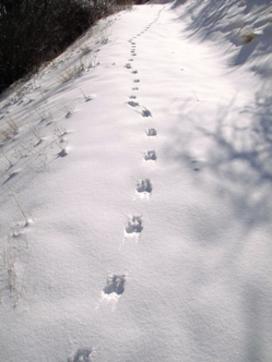 Three sets of long-tailed weasel tracks are different ages.