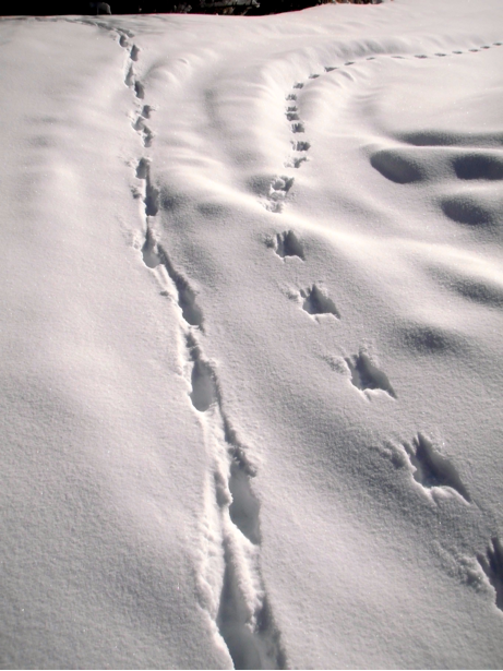 Long-tailed weasel tracks are on the right with coyote tracks on the left.