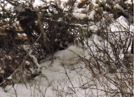 A snowshoe hare hides in the brush.