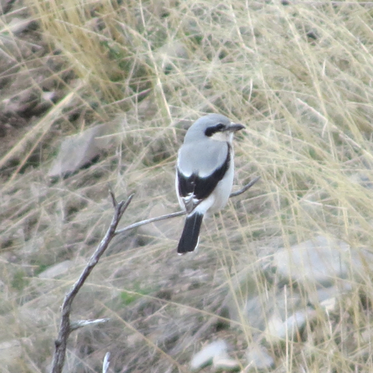 Northern Shrikes breed in the far north, and only visit us in the winter. Photo Nicholas Ramsey