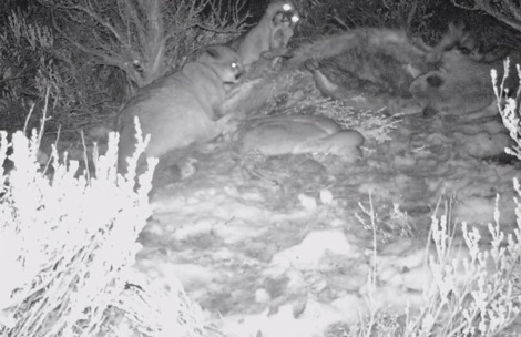In late January MPG discovered a mountain lion kill on the west slope of Baldy Mountain.