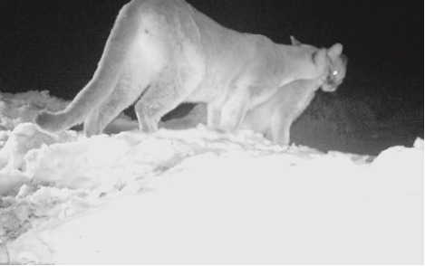 This video still shows a mother lion grooming her offspring after feeding.