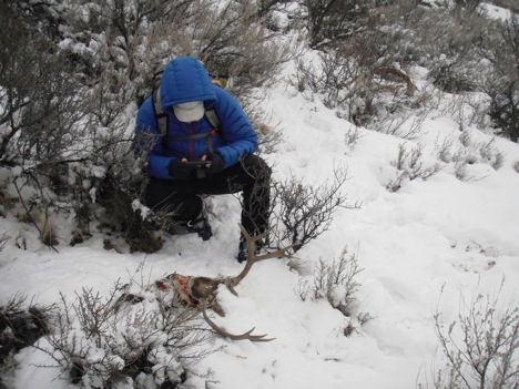 On January 30th, a volunteer and I investigated the kill site to look for hair and scat.