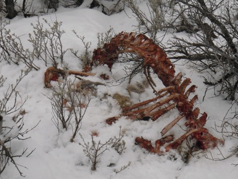 By the time we reached the site, several days after the kill, there was little left of the carcass. The lions were thorough in their work. Scavengers had begun to visit the site as evidenced by coyote and bird tracks.