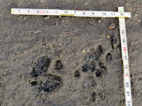In the thawing road bed, we discovered multiple sets of fresh tracks. It would appear that the lions were still active in the area, even several weeks later.