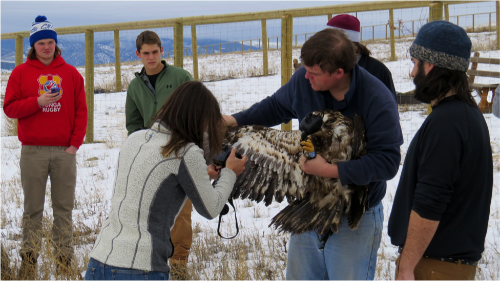Several public school, private school, and community volunteer groups visited the ranch this winter to participate in an ongoing eagle project with Raptor View Research Institute.