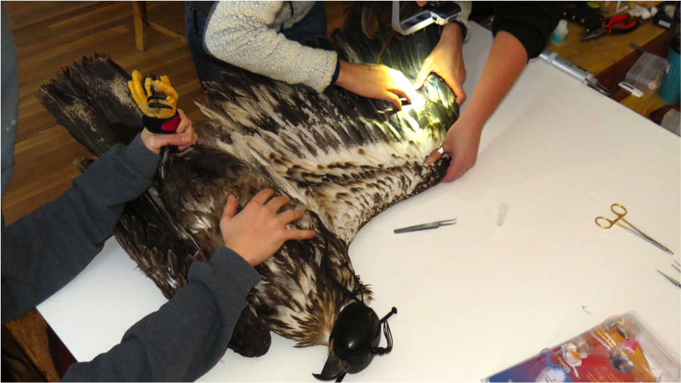 RVRI conducts winter research on both bald and golden eagles.