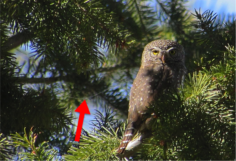 The owl flies to a nearby perch and we confirm that the transmitter antenna is placed correctly