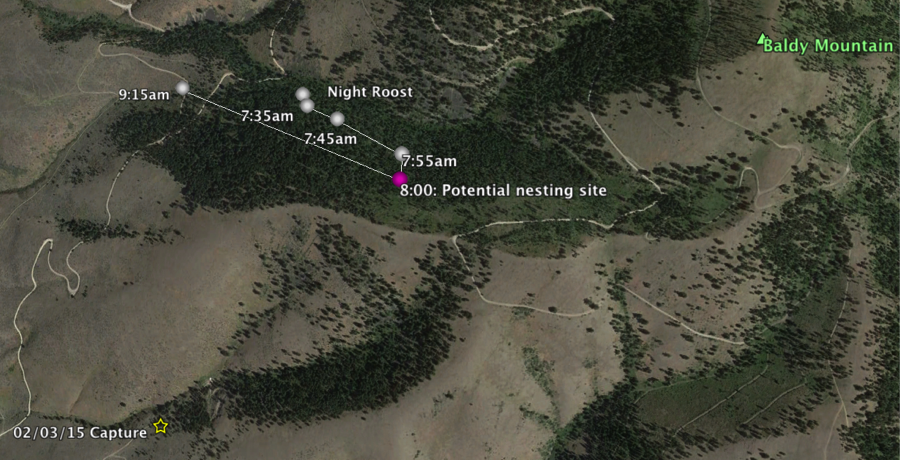 Tracking the male #960 over several hours enables us to better understand a pygmy-owl's behavior and movement. Here is a map of the owl's movement and suspected nesting site on 3/11/15 with a reference to where we initially captured it. The distance between its potential nesting site and where I find it at 9:15am, where it hunts voles, is approximately 750 meters apart (1/2 mile