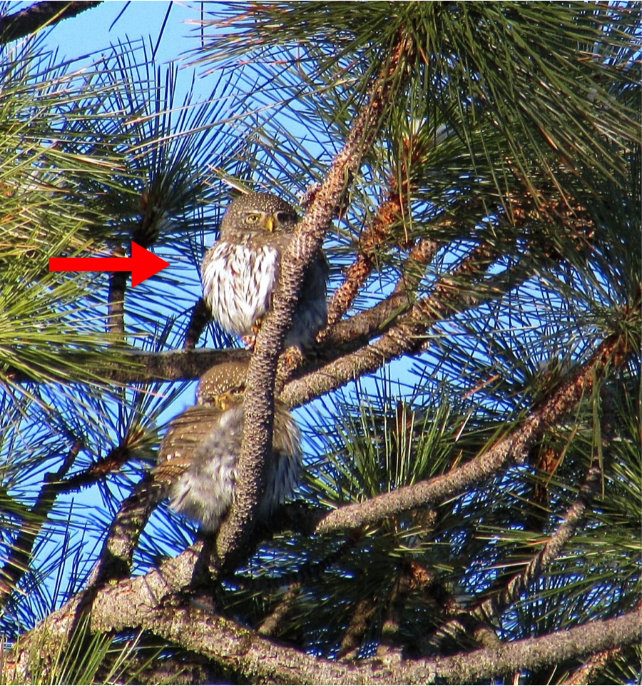 3/4/15: After hiking for a couple hours from Sheep Camp and up to the top of West Baldy ridge, I find #960 (red arrow in the photo below) at 8:00am with what I believe to be his mate! The male vocalizes more and has a deeper hoot in contrast to the softer and higher-pitched female.
