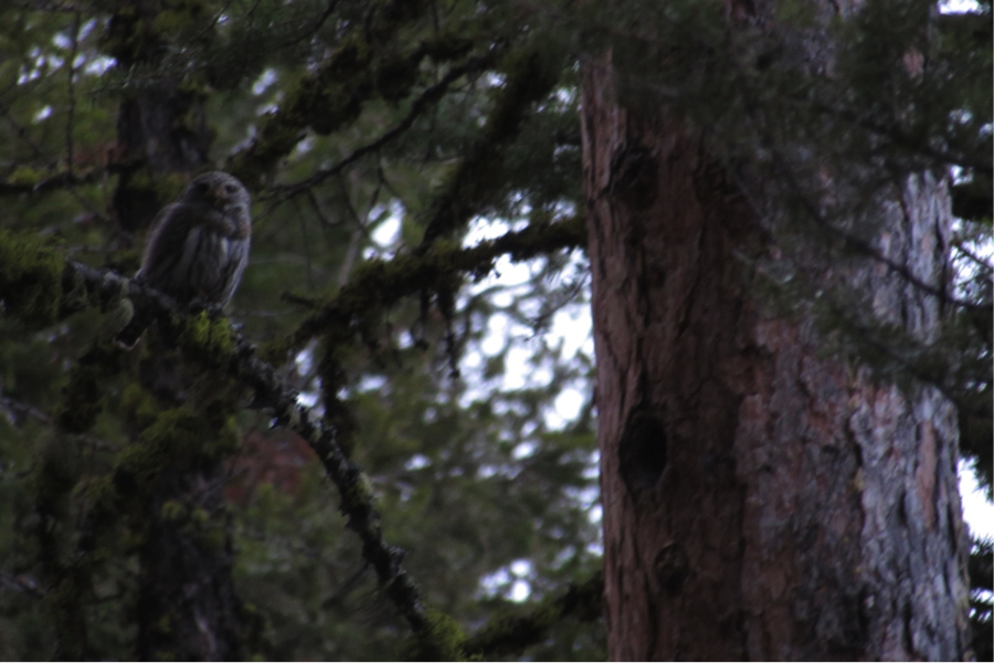 The male leaves the female at 8:20am. The female stays near a suspected nesting site for 10 minutes before disappearing into the forest. The Ponderosa Pine snag visible in this picture contains numerous cavities suitable for a pygmy-owl nest.