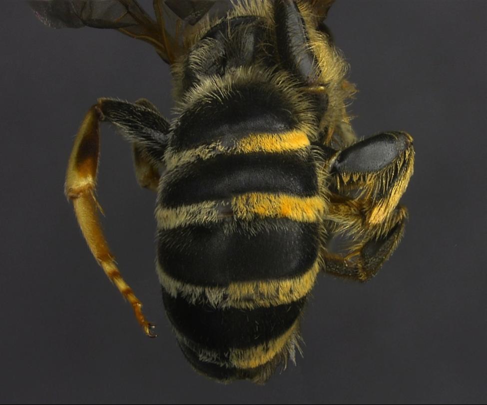 Halictus farinosus Gynandromorph (Back)