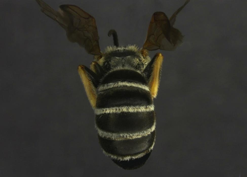 Halictus farinosus Male (Back)