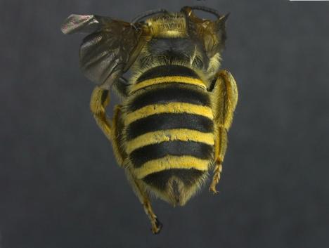 Halictus farinosus Female (Back)