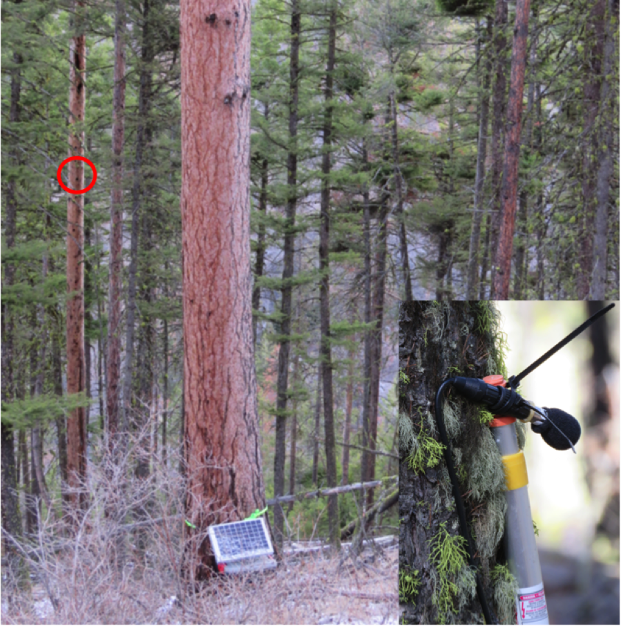 Meanwhile, Debbie and I install an acoustic monitoring station. This automated recording unit will hopefully document all vocalizations, even the subtle tones. The microphone is approximately 10 meters away from the nest (circled in red in the picture). The unit is charged with a solar panel and connects to a microphone placed near the nest.
