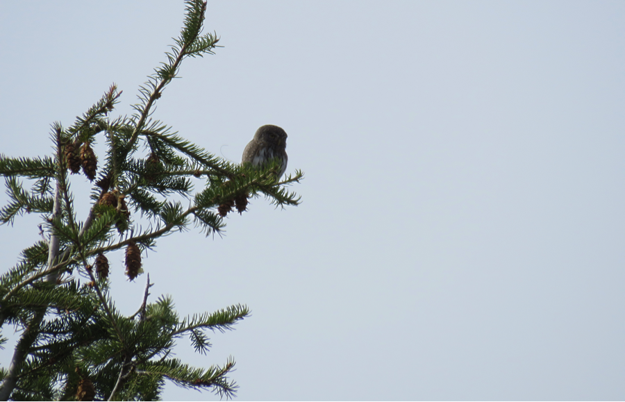 3/18/15: Back at it on Wednesday; at 1:10 pm Kate and I find #960 near the road junction, where we've seen it foraging multiple times. It sits in a Douglas-fir, with a vole in its talons.