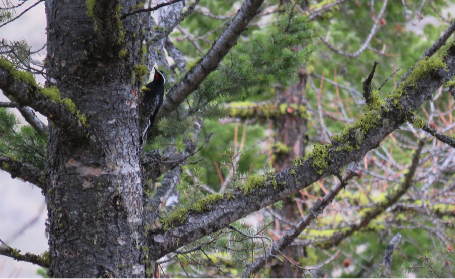 During our visit we see a Williamson's Sapsucker, the first reported in Montana this year.  The Williamson's Sapsucker male is black and white with a red throat and yellow patch in its upper chest.