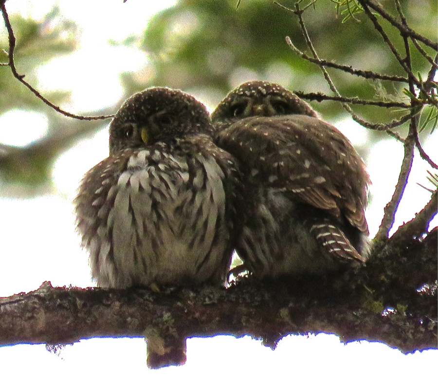 causing it to bend. If we catch more pygmy-owls we will trim the antennas to a shorter length.