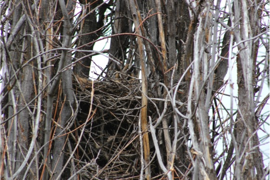 Calm owl in nest