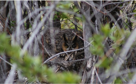 Defensive long-eared owl