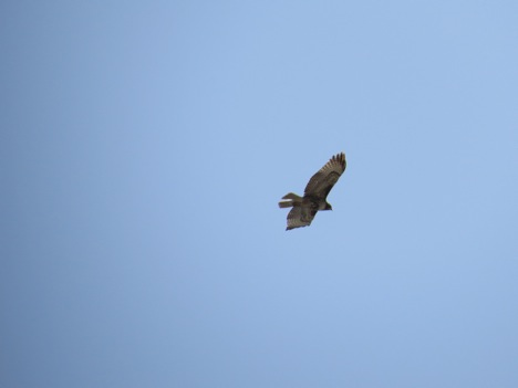 An immature red-tailed hawk buzzed past the observation point.