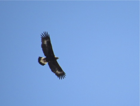 The distinctive white wing and tail patches identify this golden eagle as a juvenile.