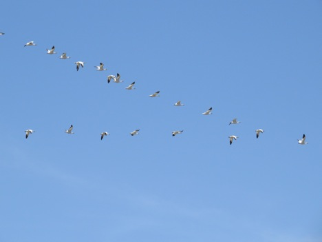 On April 24th, several flocks of snow geese flew up the Bitterroot Valley.