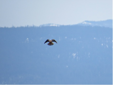 A kestrel hovers in front of the Sapphire Mountains as it searches for prey.