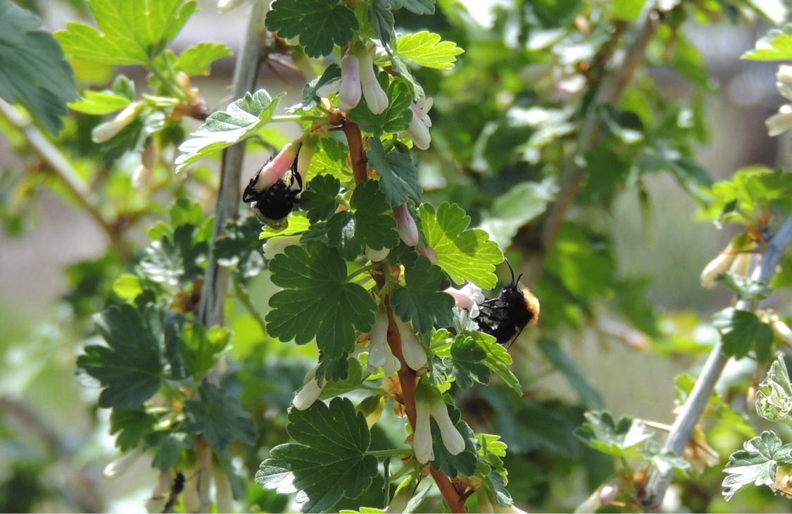 Cuckoo bees Melecta separata (left) and Melecta pacifica (right) nectar together on Idaho gooseberry (Ribes irriguum).