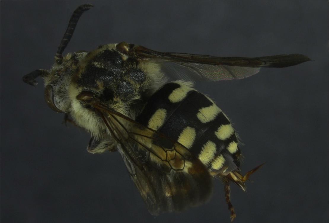 Image 5.  This cuckoo bee, a female Xeromelecta californica, is the only member of this genus we have found at MPG Ranch.