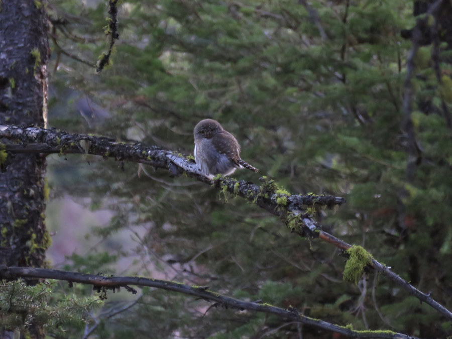 At 7:35 am the female perches east of the nest tree in the branches of a nearby Douglas-fir (see picture below).