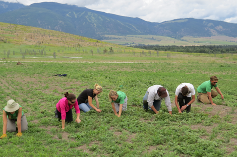 The ECO interns and field staff dedicated their week to the ongoing eradication of campion in the North Center Pivot.