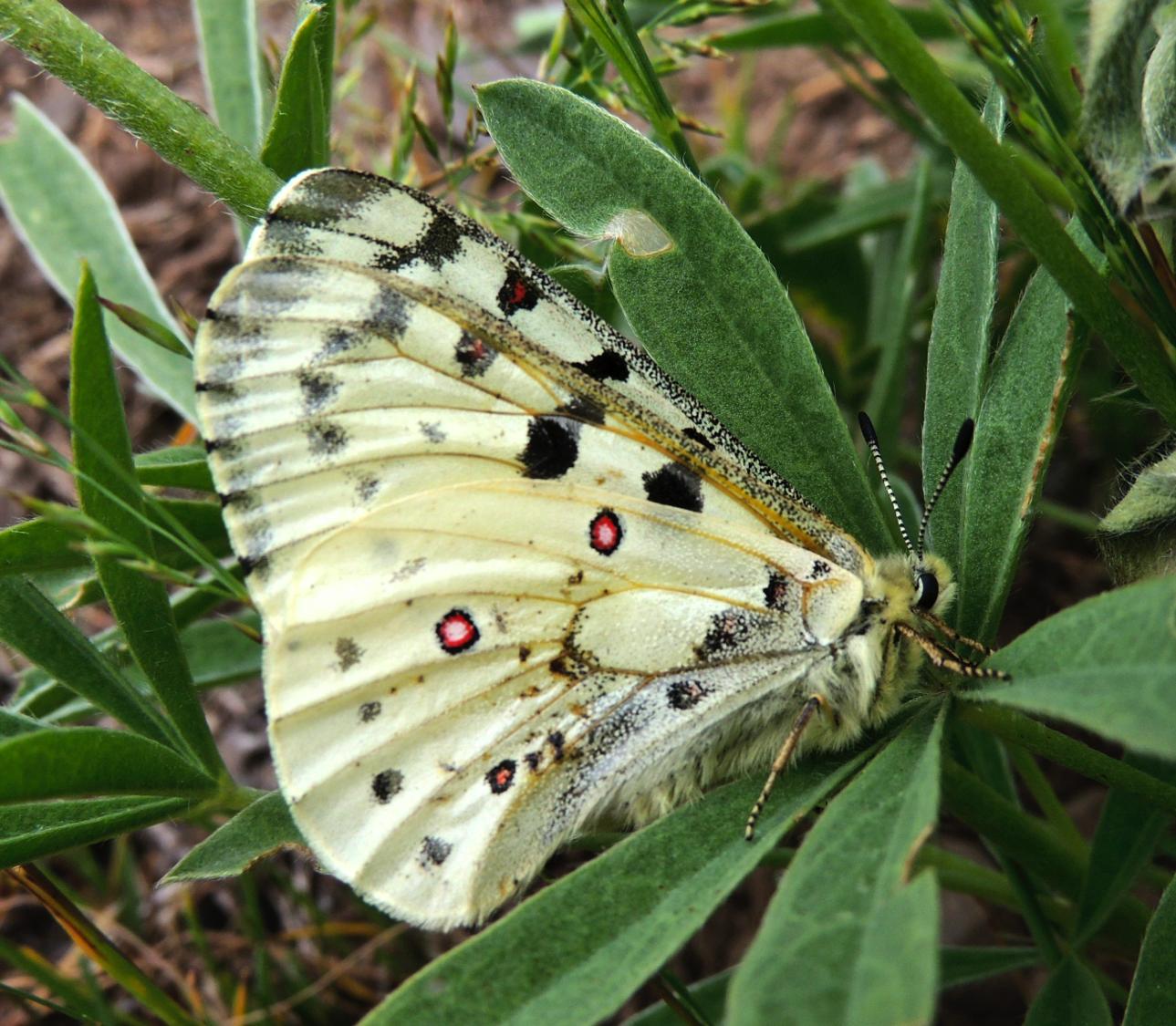 Rocky Mountain Parnassian butterfly