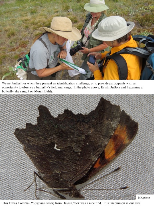 We net butterflies when they present an identification challenge, or to provide participants with an opportunity to observe a butterfly's field markings. In the photo above, Kristi DuBois and I examine a butterfly she caught on Mount Baldy.
