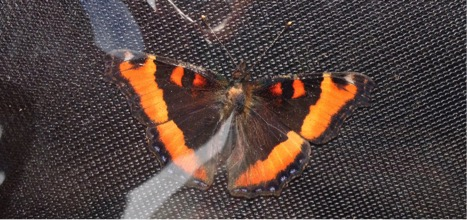This fresh Milbert's Tortoiseshell butterfly was a nice find on the top of Mount Baldy.
