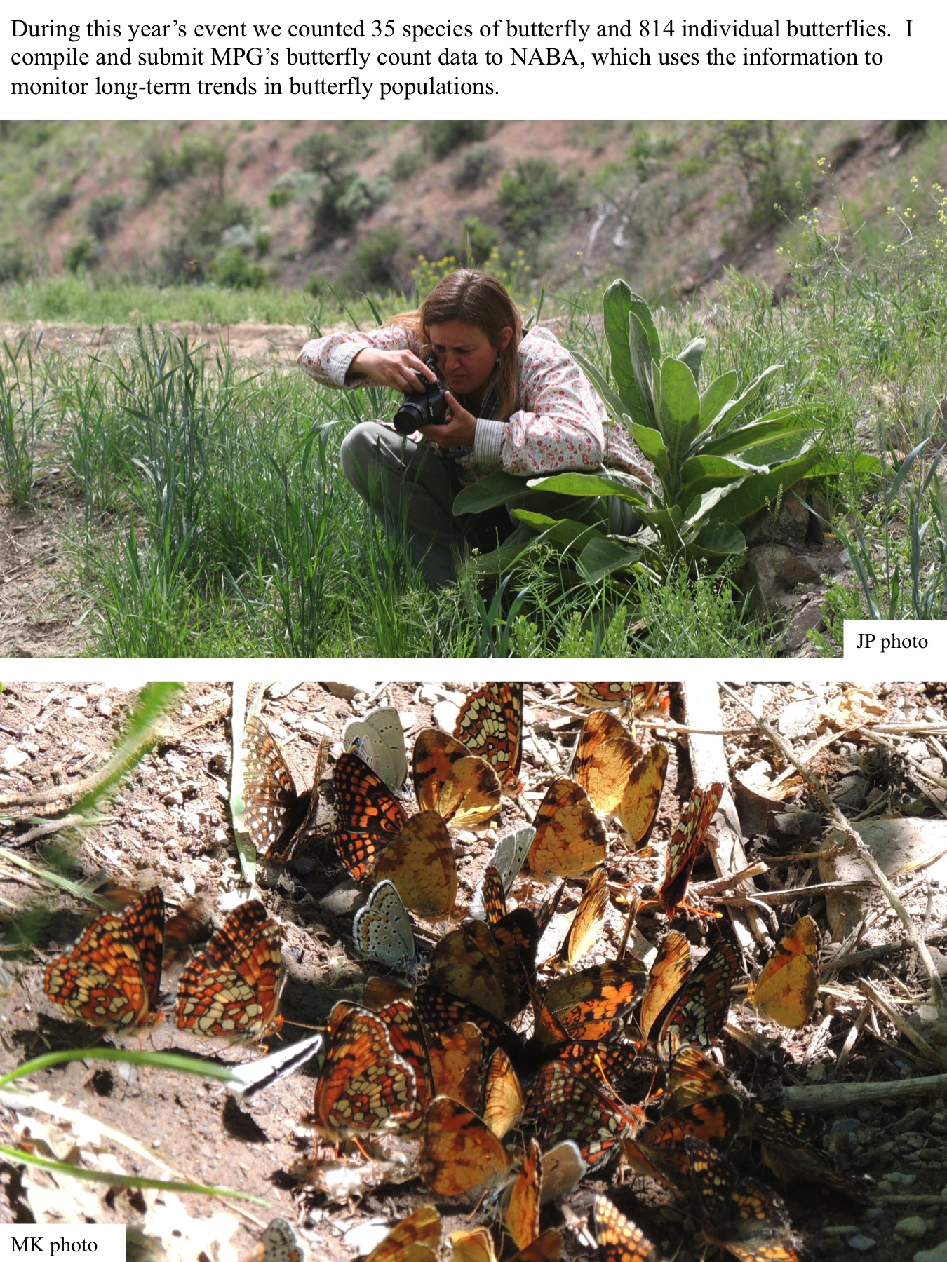 During this year's event we counted 35 species of butterfly and 814 individual butterflies. I compile and submit MPG's butterfly count data to NABA, which uses the information to monitor long-term trends in butterfly populations. JP