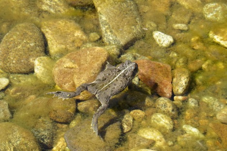 Toad Swimming