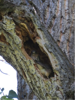 A pair of nestlings peek out of the cavity.