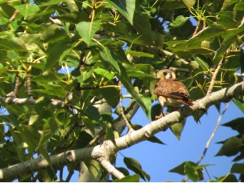 Fluttering from tree to tree constitutes first flight for this fledgling female.